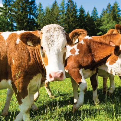 Beef Cattle Services